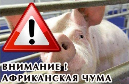 В приграничных с Кировской областью регионах возникли новые очаги африканской чумы свиней